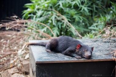 trowunna-wildlife-tasmania-03