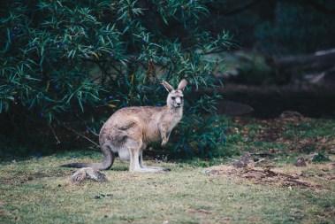 trowunna-wildlife-tasmania-04