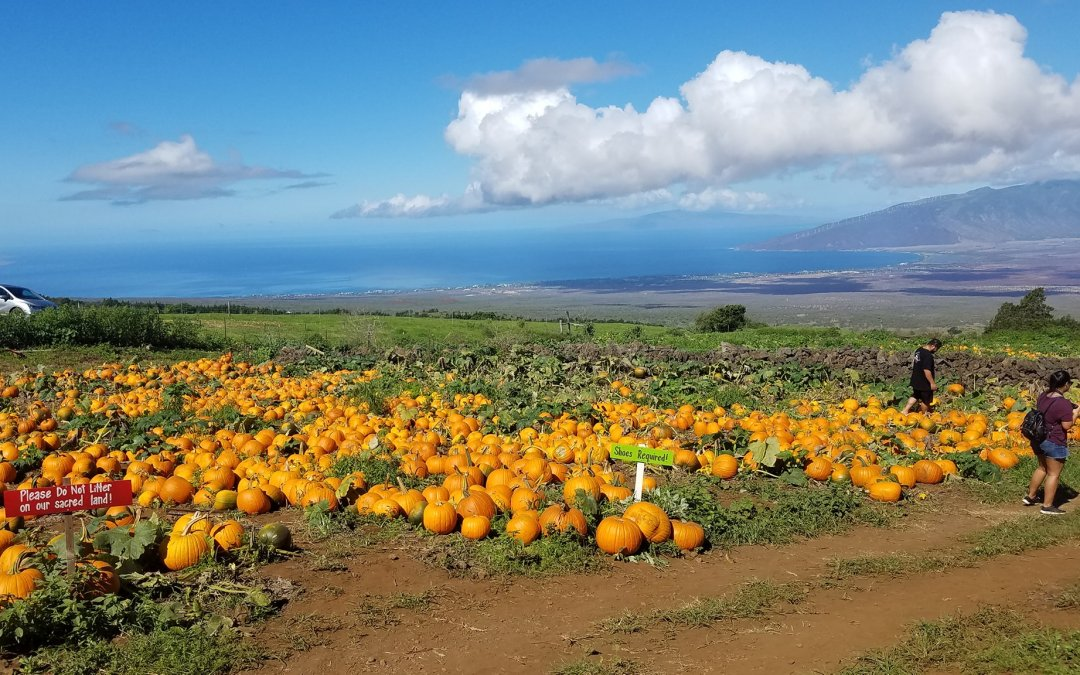 Pumpkin Patch on Maui at Kula Country Farm