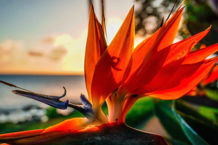 Bird of Paradise and Maui Sunset 2