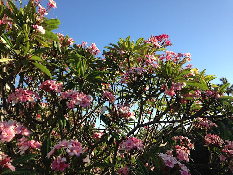 Plumeria Tree with Lots of blooms