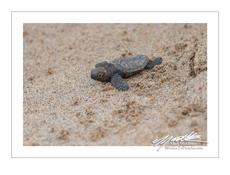 Hawksbill Turtle 3