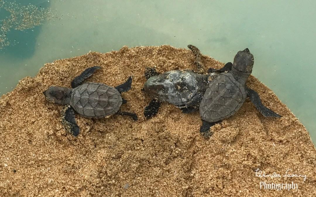 Hawksbill Sea Turtle on Maui