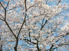 Nikko in spring and the cherry blossoms we just at the height of their transient beauty.