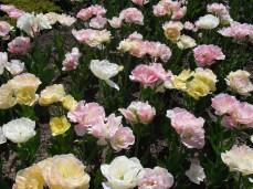 Tulips in Versailles