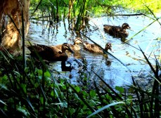 There in a mud puddle at the edge of our local swamp this little family of duckies begged to be photographed. I obliged.