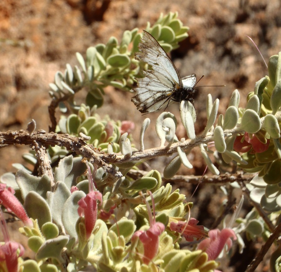 This butterfly rested on the plant in the Exmouth Gorges, its tattered wings nearing their end and yet it still flew off into the sunshine. https://amaviedecoeurentier.wordpress.com/2015/05/24/thought-for-the-day-fly/