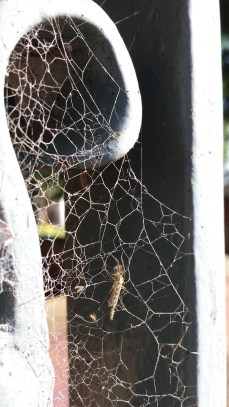 A spider's dream and my nightmare! Photographed in the morning passing through an old gate.