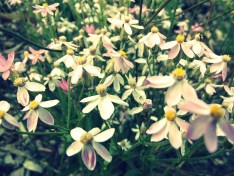 These little native Australian daisies bloom in profusion in September.