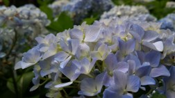 A close up of one of the banks of Hydrangea that are in the grounds of Araluen in Perth