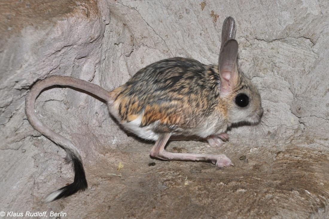Pitcher Kangaroo Mouse