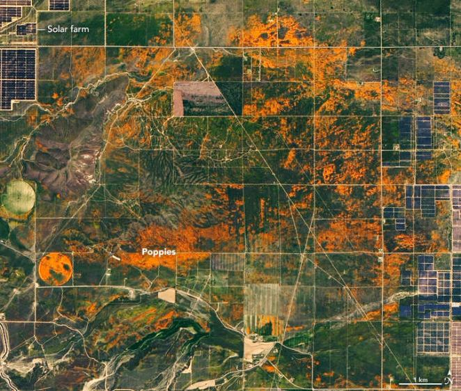 NASA Releases Satellite Images wildflower filled poppies