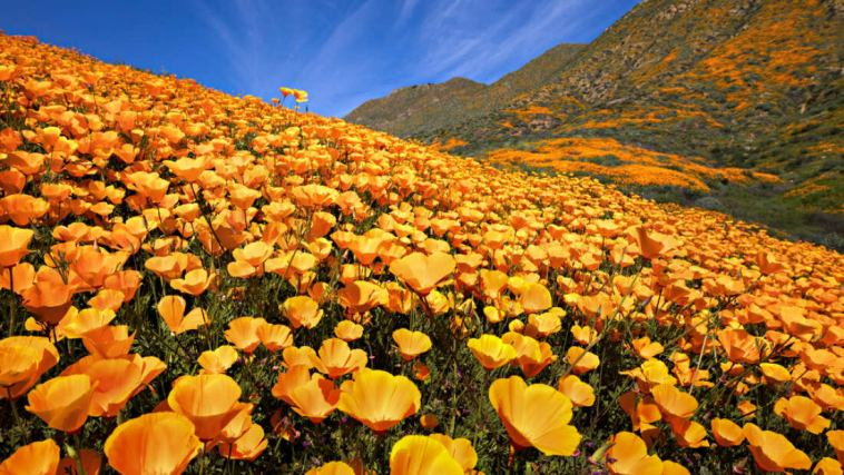 NASA Releases Satellite images superbloom of California