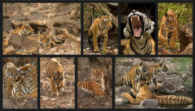 Bhadlav, a tiger resident have many animals like Leopards, wild boars