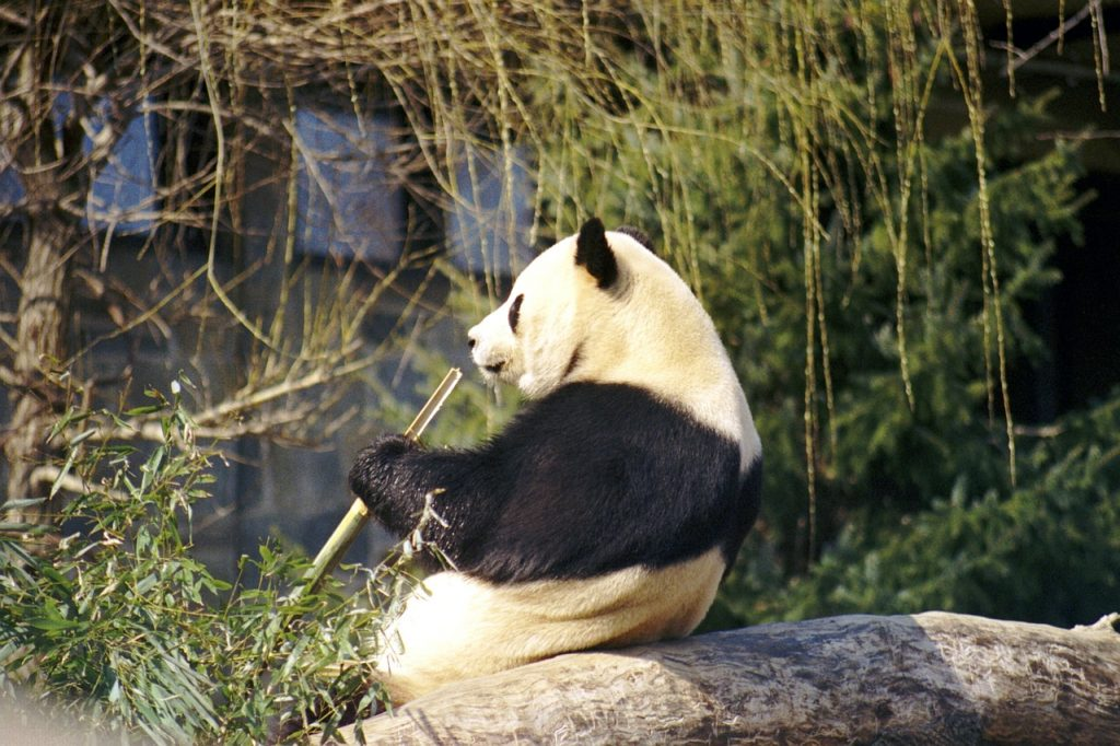 Giant Pandas Can Live Up to 30 Years