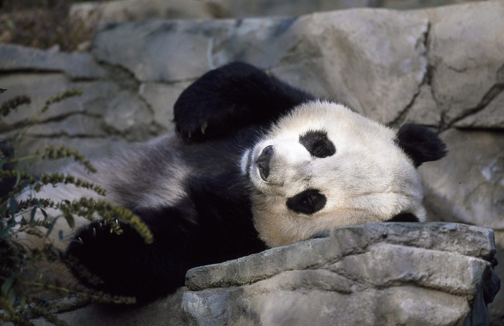 Giant Pandas Are Lazy