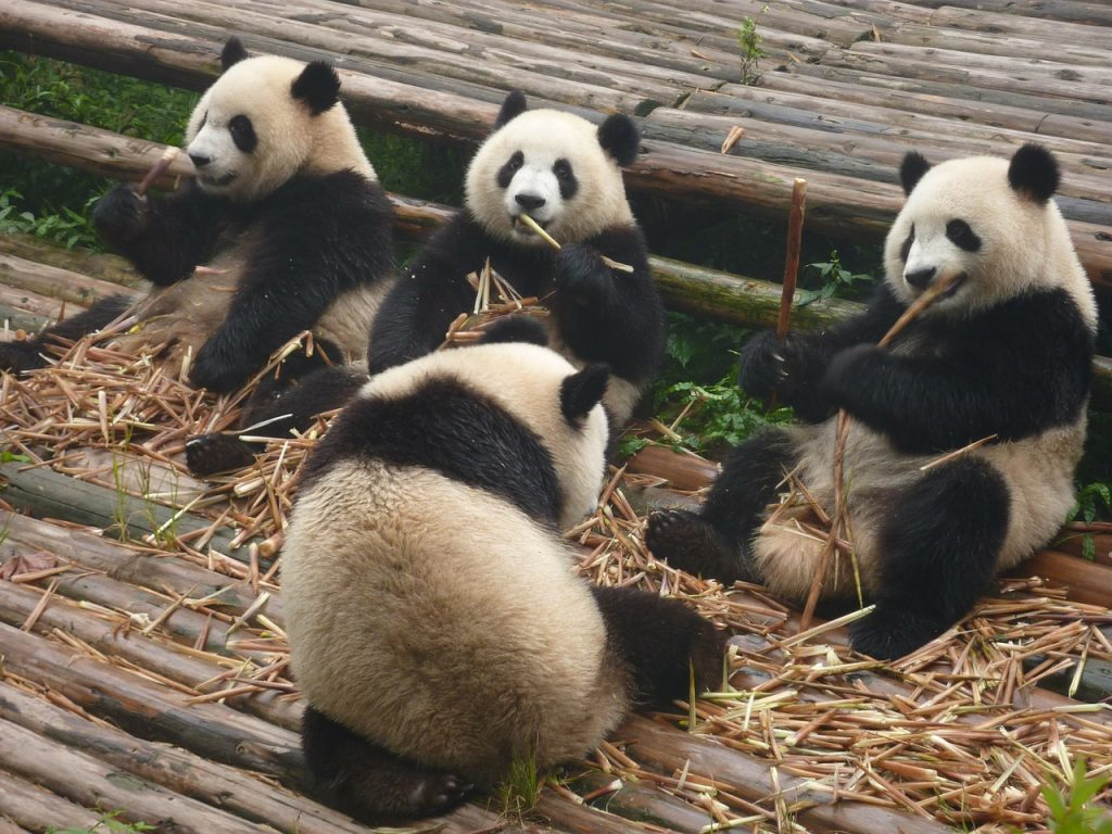 Giant Pandas' Females Ovulate Once a Year