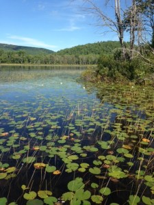 Much of Ingalls Pond is covered by luxurious aquatic vegetation