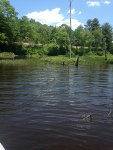 The coves provide great pike habitats: shallow, weedy, woody