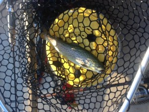 This brown trout fell for a #2 Mepps spinner. I know that the Presumpscot River grows them much bigger than this little guy!
