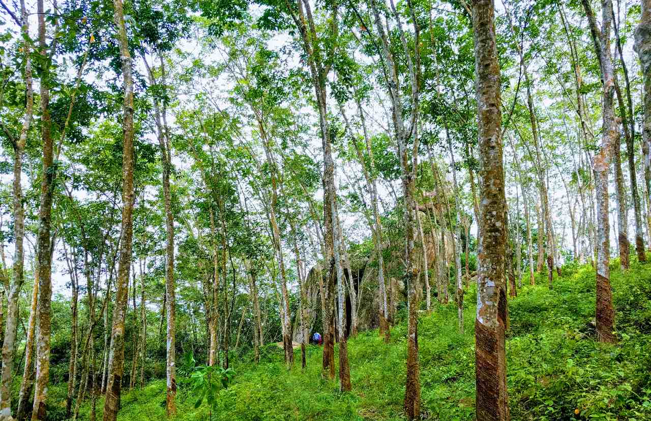 Dorawaka Caves Prehistoric Site in middle of a rubber plantation