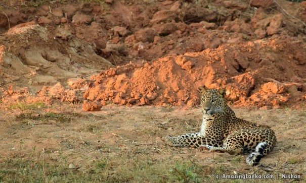 A leopard very close to the Galge Entrance seen at about 6.30 AM