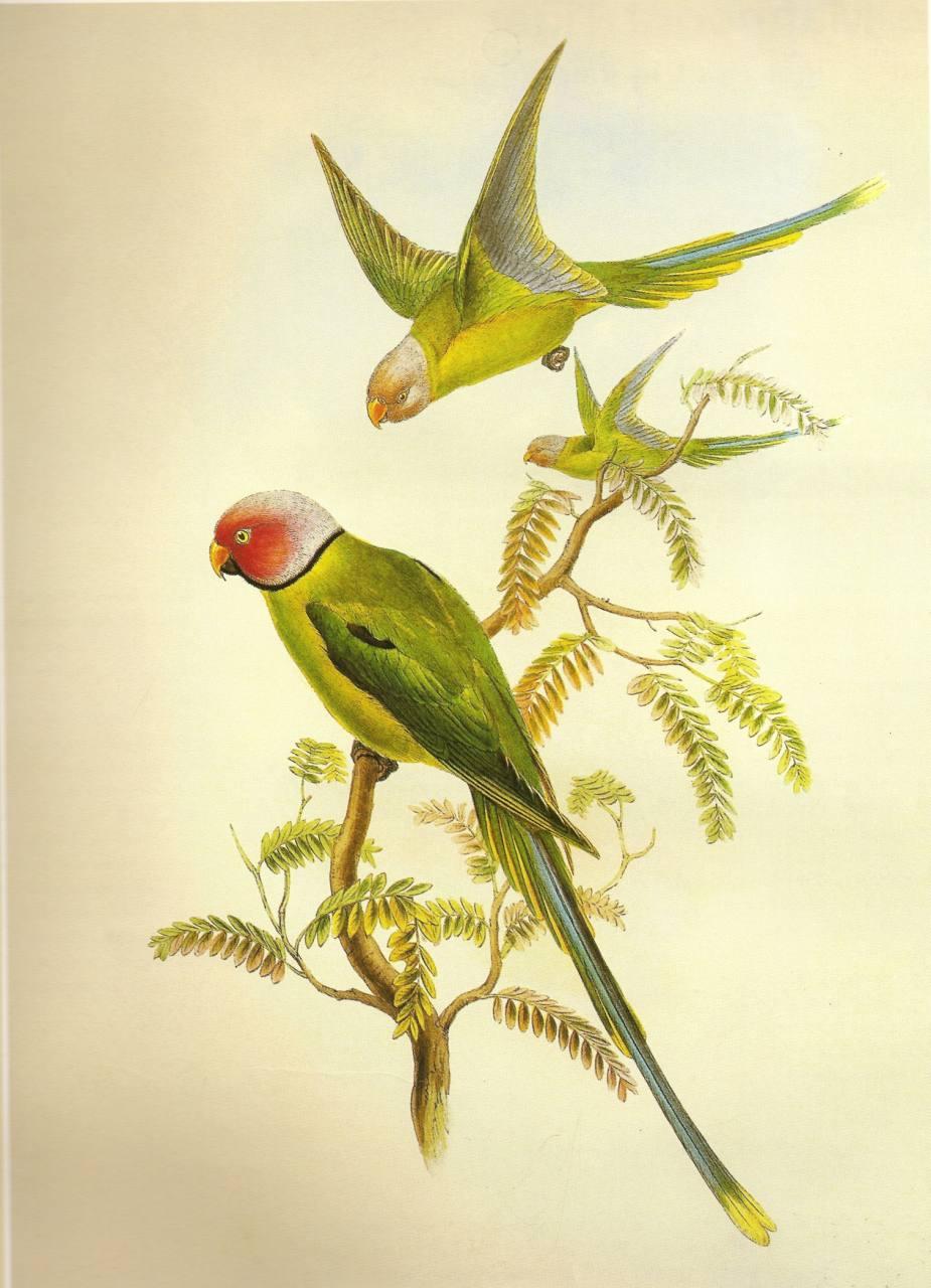 Blossom Headed Parakeet
