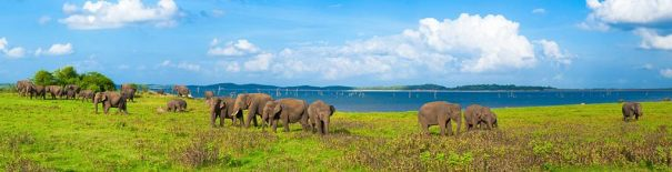 Grazing Elephants near the Kaudulla Tank