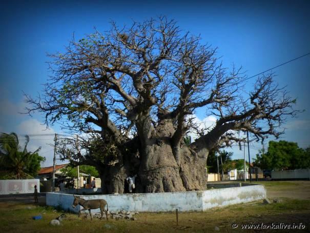 baobab Tree at Mannar