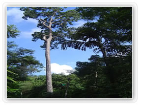 Dun Tree at Atweltota – Largest Tree in Wet Zone