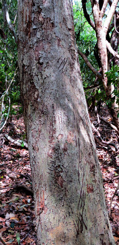 Bear scratch marks on the way to Budupatuna Ruins