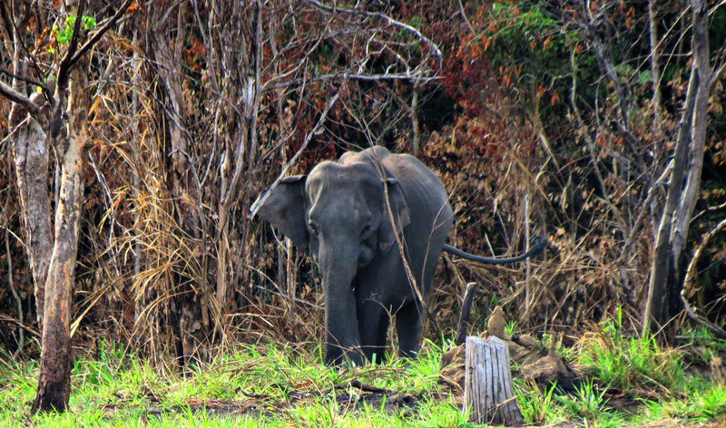 Elephants on the border of the Jungles on the way to Budupatuna