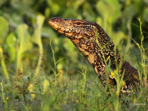 Monitor lizard @ Talangama Wetlands