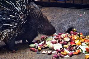 A porcupine at Dehiwala Zoo
