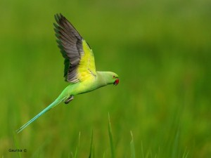 Rose-ringed parakeet @ Talangama Wetlands
