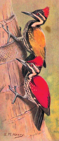 Ceylon Golden-backed Woodpecker and Ceylon Red-backed Woodpecker