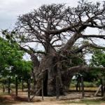 The Baobab tree of Delft Island in Jaffna