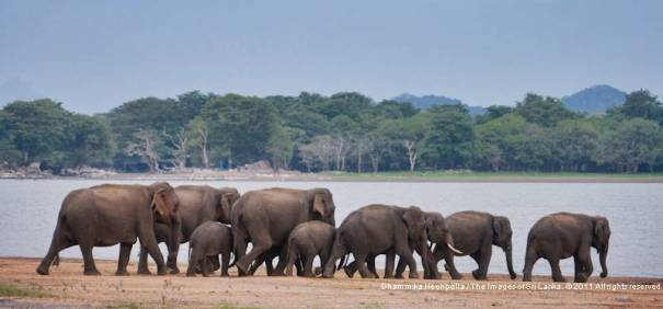 Herd of elephants reaching Kalawewa lake - Kalawewa