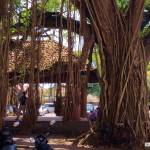 The Ambalama at the Galle Fort tough ancient trees in the Courthouse Square