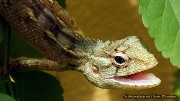 A female  Oriental Garden Lizard / Changeable Lizard / Common Garden Lizard (ගරා කටුස්සා / Gara katussa ), widely distributed lizard around the world. In Sri Lanka