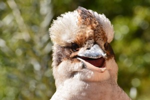 kookaburra face