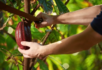 Cutting cocoa fruit from tree closeup on blurred natural background
