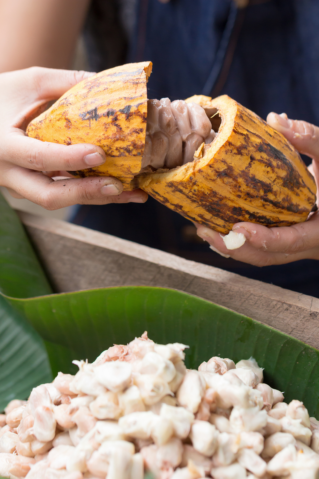 Fresh cocoa beans in the hand of a farmer.