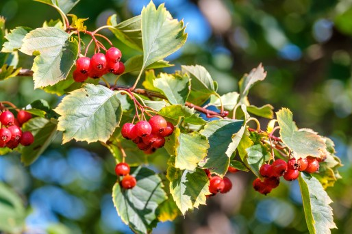 hawthorn berries on a branch with damaged leaves, autumn
