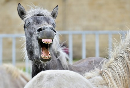 Funny Portrait Of A Laughing Horse.