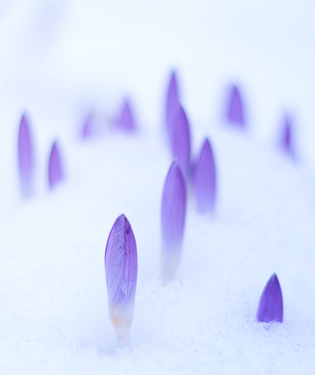 Flowers coming through the snow miracle hope of new life fertility