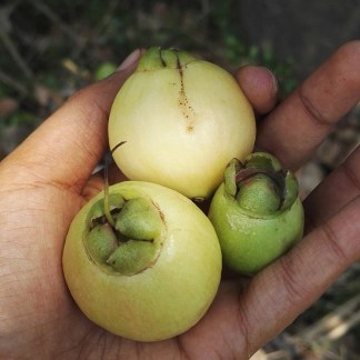 Malay Apfel