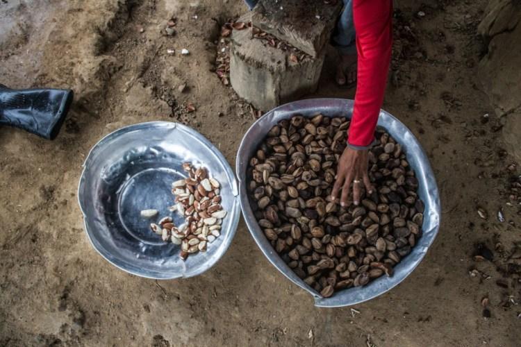 A preparação da castanha. (Foto: Gabriel Uchida/Amazônia Real)