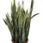 sanseveria pianta ossigeno 150x150 Le piante che danno ossigeno alla nostra casa