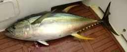 yellowfin tuna fishing sydney